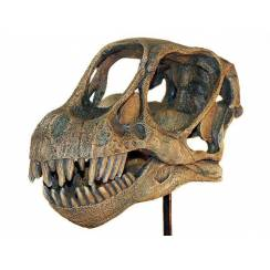 Camarasaurus, Dinosaur Skull Replica by Favorite Co. Ltd.