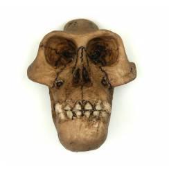 Australopithecus ''Lucy'' Schädel Magnet von La Bottega di Michelangelo