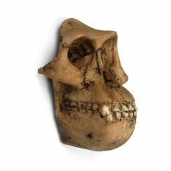 Australopithecus 'Lucy' Skull, Magnet