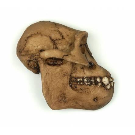 Australopithecus 'Lucy' Skull Magnet in profile by La Bottega di Michelangelo