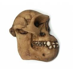 Australopithecus 'Lucy' Skull, Magnet - 2