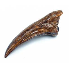 Ammosaurus Klaue, Fossilien Kopie