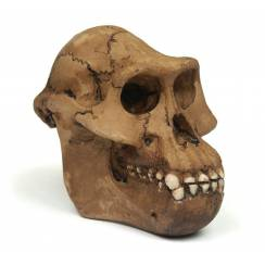 Australopithecus afarensis ''Lucy'', Urmensch Schädel Replika