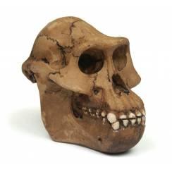 Australopithecus ''Lucy'', Prehistoric Man Skull Replica
