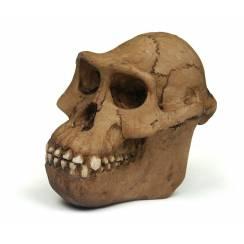 Australopithecus ''Lucy'', prehistoric man skull