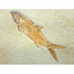 Caturus furcatus, Fisch Fossil