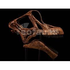 Brachiosaurus altithorax, Dinosaur Skull