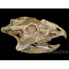 Ajkaceratops kozmai, Dinosaur Skull