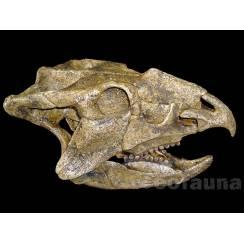 Ajkaceratops kozmai, Dinosaurier Schädel