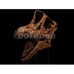 Brachiosaurus altithorax, Dinosaurier Schädel