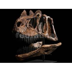Ceratosaurus magnicornis, Dinosaurier Schädel