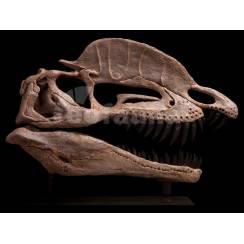 Dilophosaurus wetherilli, Dinosaur Skull Replica by EoFauna