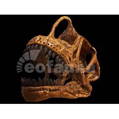 Europasaurus holgeri, Dinosaur Skull