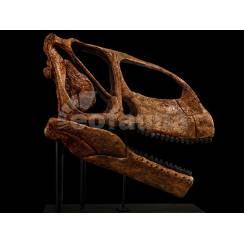 Turiasaurus riodevensis, Dinosaur Skull Replica by EoFauna